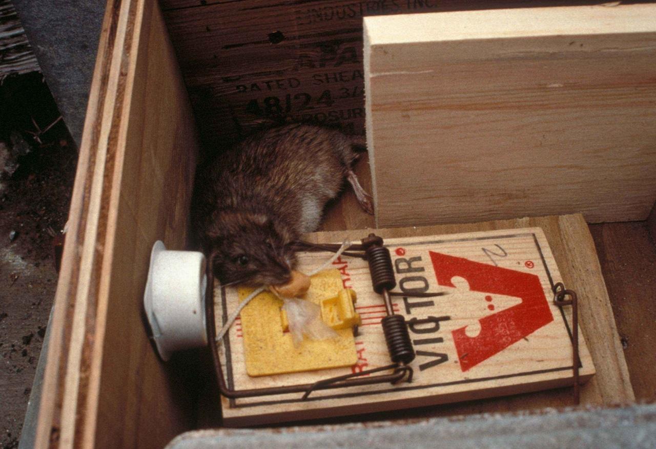 Comment éliminer les rats et les souris?