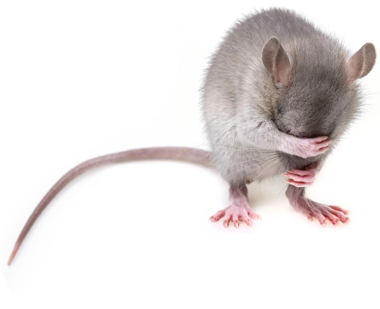 Comment savoir si on a des rats ou des souris à la maison?